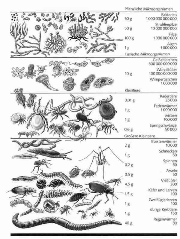 Artenreichtum und formenvielfalt der bodenorganismen 1 for Boden zusammensetzung